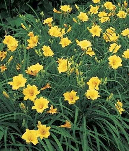 Yellow Reblooming Daylily Hemerocallis Stella d'Oro