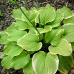 Green Edged Yellow Hosta Fragrant Bouquet