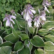 Green Edged White Plantain Lily Hosta Francee