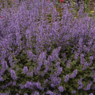 Blue Catmint Nepeta Walker's Low
