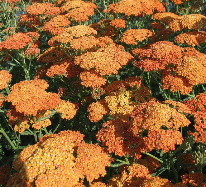 Yarrow Achillea millefolium Terracotta