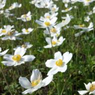 Snowdrop Anemone sylvestris