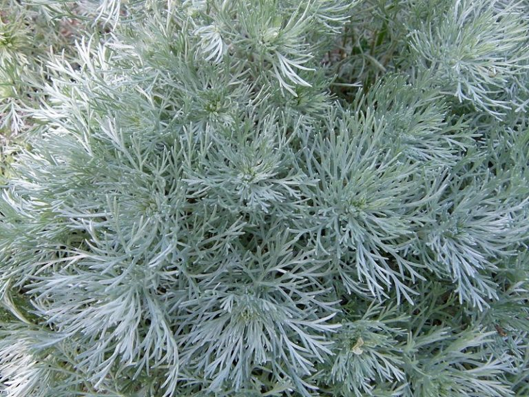Dwarf Silver Mound Artemisia Schmidtiana Nana