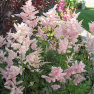 Pink Astilbe rosea 'Peach Blossom'