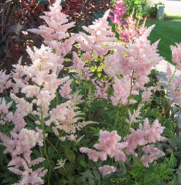 Pink Astilbe rosea 'Peach Blossom'