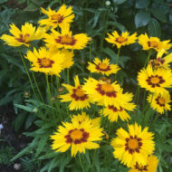 Large-Flowered Tickseed - Coreopsis Sunkiss grandiflora