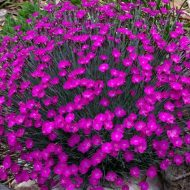 Dianthus Firewitch Perennial Plant of Year 2006