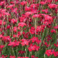 Maiden Pink - Dianthus deltoides 'Brilliant'