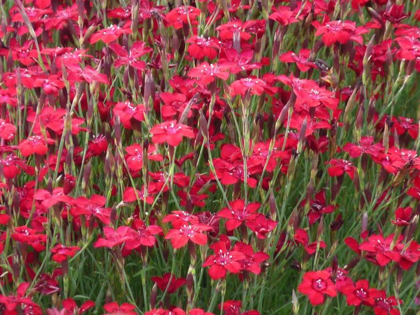 Maiden Pink   Dianthus deltoides \'Brilliant\'   CANADA