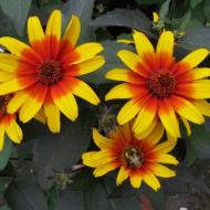 False Sunflower - Heliopsis helianthoides 'Burning Hearts'