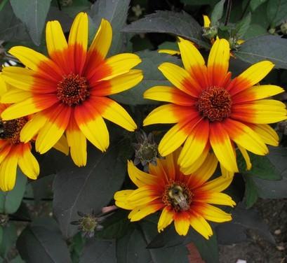 False Sunflower - Heliopsis helianthoides 'Burning Hearts'