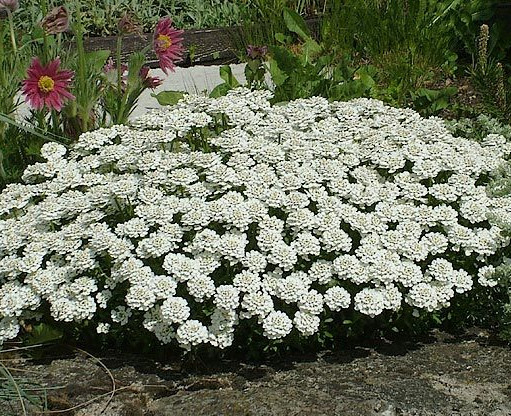 Evergreen Candytuft Iberis sempervirens Whiteout