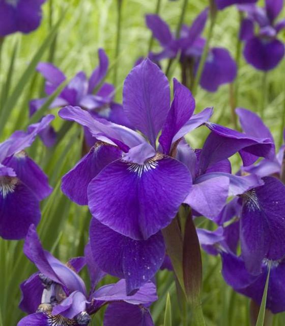 Blue Siberian Iris sibirica Caesar's Brother