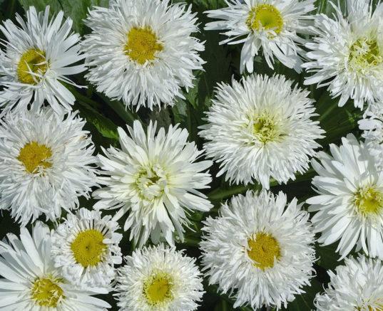 Shasta Daisy Leucanthemum superbum Crazy Daisy