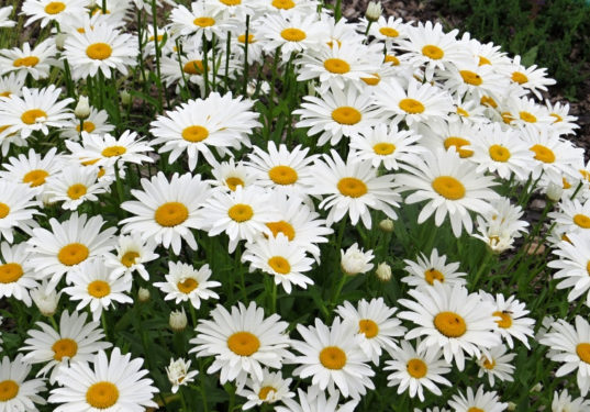 Shasta Daisy - Leucanthemum superbum Snow Lady Shasta Daisy