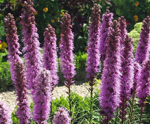 Perennial Flowers Canada - Gayfeather