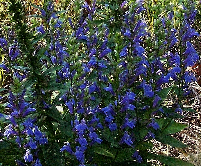 Blue Cardinal Flower Great Blue Lobelia Lobelia Siphilitica Canada