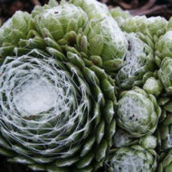 empervivum arachnoideum Cobweb Hens and CHicks