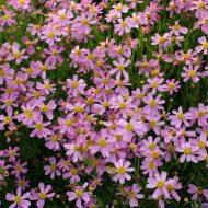 Coreopsis rosea American Dream