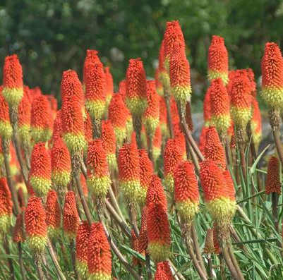 Flower Red Hot Poker