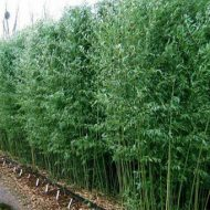 phyllostachys bissetii hedge