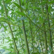 Phyllostachys bissetii hardy bamboo