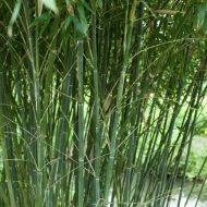 Phyllostachys bissetii plant