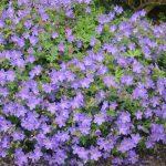 Order Cranesbill - Geranium 'Johnson's Blue'
