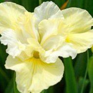 Yellow Siberian Iris sibirica 'Yellowtail'
