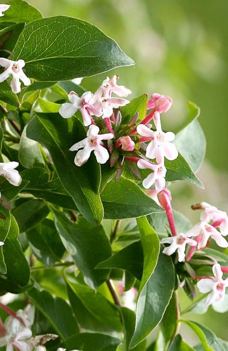 Fragrant Abelia Hardy Abelia Abelia Mosanensis Canada