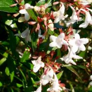 Glossy Abelia | Abelia x grandiflora