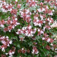 Glossy Abelia flowers | Abelia x grandiflora 'Sherwood'