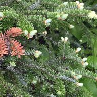 christmas tree plants - fraser fir plants