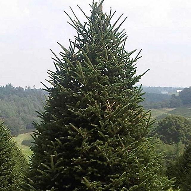 Fraser Fir Christmas Tree Abies Fraseri Canada