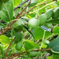 Issaï Self-Pollinating Kiwi | Actinidia arguta 'Issaï'