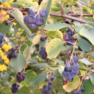 Saskatoon Berry fruit | Serviceberry | Amelanchier alnifolia