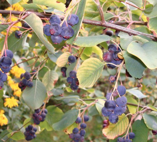 Saskatoon Berry fruit | Serviceberry | Amelanchier alnifolia