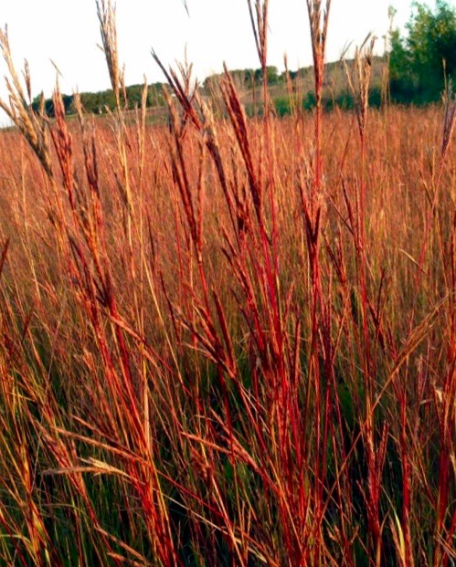 Big Bluestem | Andropogon gerardii