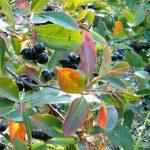 Viking Black Chokeberry Fruit | Aronia melanocarpa 'Viking'