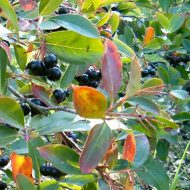 Viking Black Chokeberry Fruit | Aronia melanocarpa 'Viking'