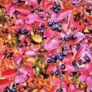 Black Chokeberry fall foliage 190x190 - Aronia melanocarpa 'McKenzie'