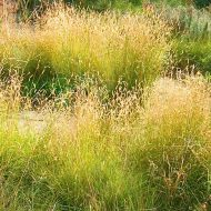 Blue Grama-plant-Bouteloua-gracilis-