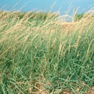 bouteloua-curtipendula-plant-native-grass