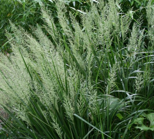 Korean Feather Reed Grass bloom | Calamagrostis brachytricha