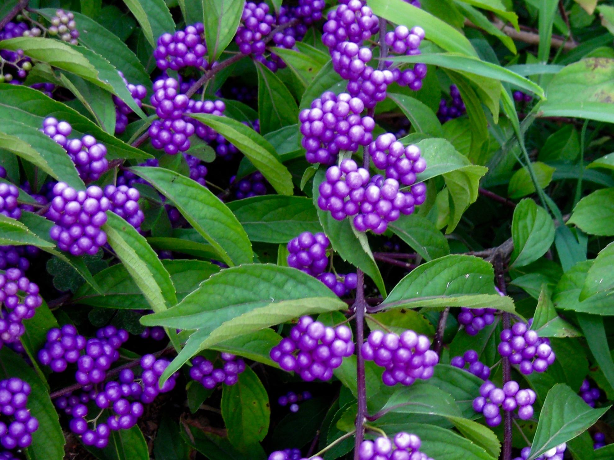 American Beautyberry Callicarpa Dichotoma Issa 239 Canada