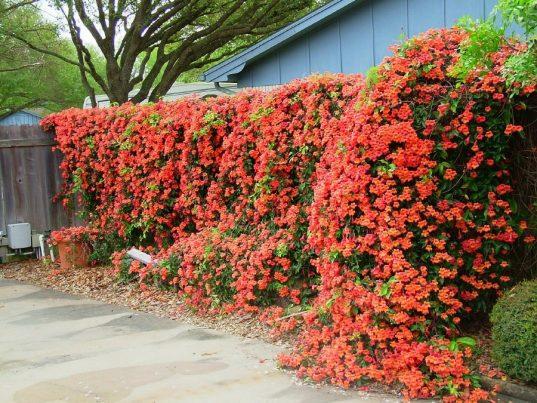 Trumpet creeper flowers | Campsis x tangliabuana 'Madame Galen'