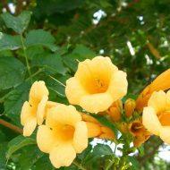 Yellow Trumpet vine | Campsis radicans 'Flava'