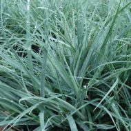 Blue Sedge | Carex flacca 'Blue Zinger'
