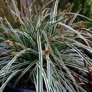 Variegated Japanese Sedge | Carex oshimensis 'Everest'