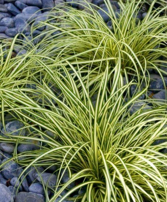 Variegated Japanese Sedge | Carex oshimensis 'Evergold'